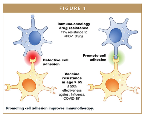 Promoting cell adhesion improves immunotherapy.
