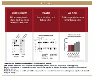 Gene cassette modification can enhance expression and stability. Left: in codon optimization, DNA sequences are optimized to enhance stability and expression of full-length protein. Center: transgenes can be engineered to produce a protein that is smaller in size than the native protein while retaining essential biological activity. Right: Dual vectors can be used to split a DNA sequence into two pieces that recombine in the cell to produce a protein with desired biological activity.